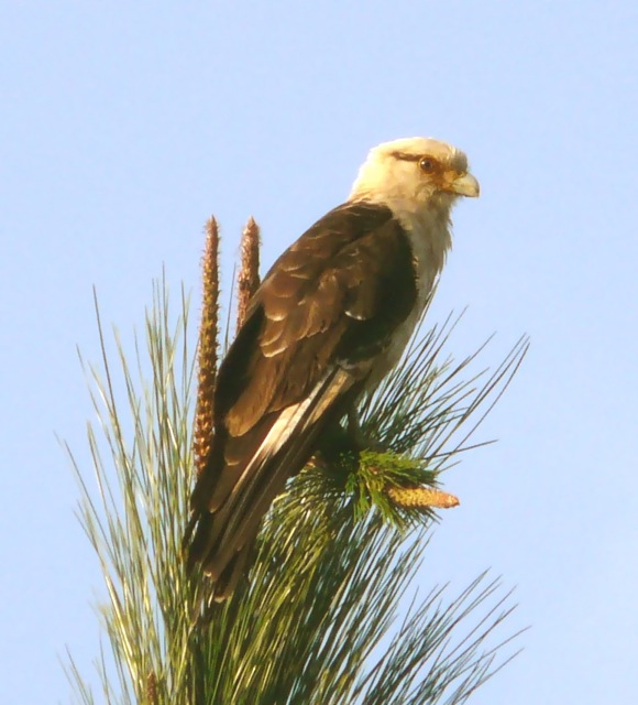 spectacled hawk