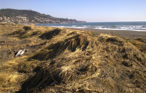 Dunes at Pelluhue with dune grass crushed