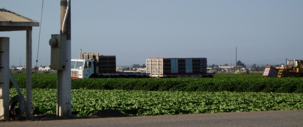 Lettuce field near Watsonville, California