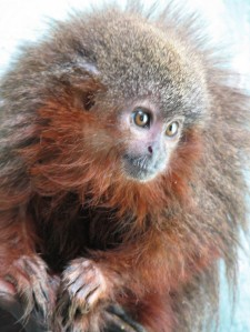 Pacific Rubiales, Talisman get the cute fuzzy monkey!