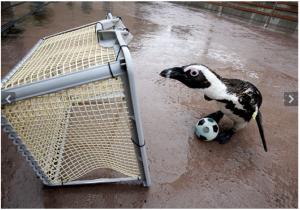 Penguin football