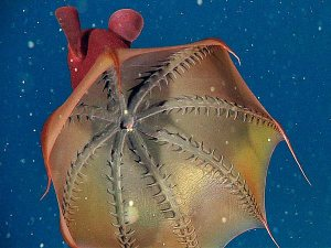 From National Geographic. Click for more vampire squid beauty.